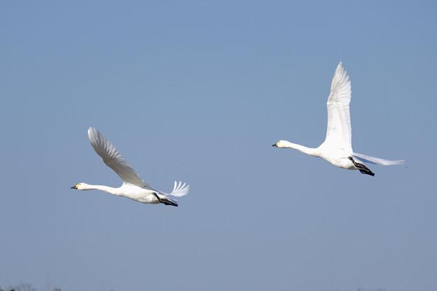 Photos: 優雅な白鳥さん♪