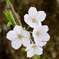 写真: 桜花