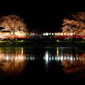 写真: 飯給夜桜 夜