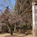 写真: 偕楽園 早咲きの梅
