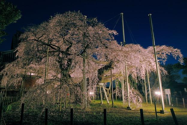 般若院 枝垂桜 宵