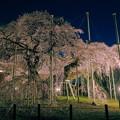 写真: 般若院 枝垂桜 宵