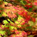 写真: 紅葉青葉