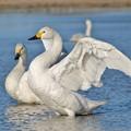 羽ばたき白鳥