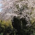 Photos: 桜の小径