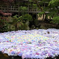 Photos: 紫陽花池