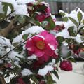 写真: 綿雪