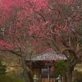 写真: 梅のにほひにめぐりくる
