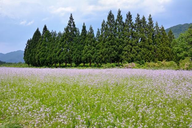 若紫の花咲く太郎布は夏浅し