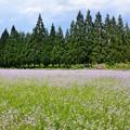 Photos: 若紫の花咲く太郎布は夏浅し