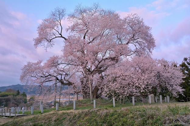 空はけふ桜色らし