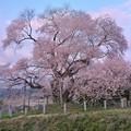 Photos: 空はけふ桜色らし