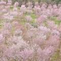 Photos: 桜 峠