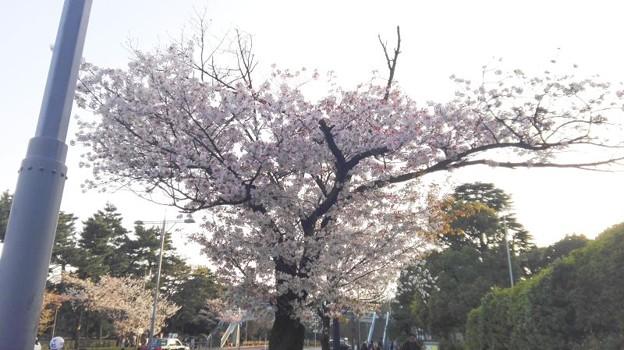 20180331_sakura
