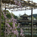 Photos: 平安神宮の枝垂桜@京都20160406