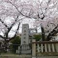 Photos: 平安宮朝堂院大極殿跡の桜@京都20160405