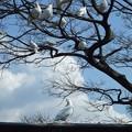 Photos: 鶴岡八幡宮の鳩@鎌倉20060325