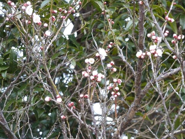 庭先の梅が大分ほころびました