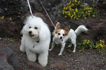 城ヶ崎にて、花と犬。