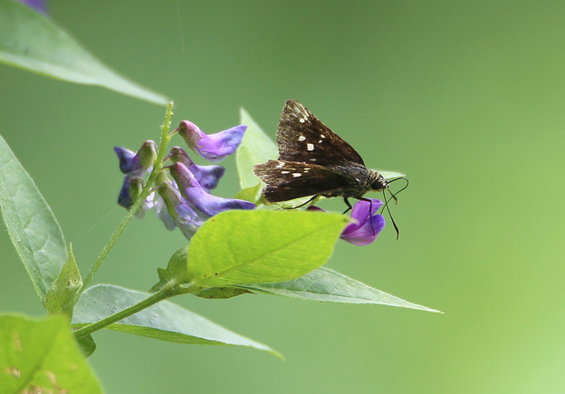 カリガネソウと蝶