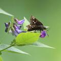 写真: カリガネソウと蝶