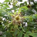 写真: ハマナスの花から.実をつける