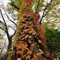 写真: ツタの紅葉
