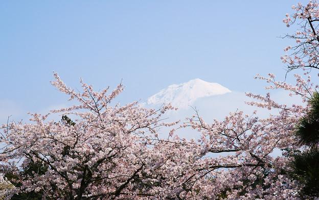 大石寺から見上げる富士山