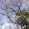 出迎えの桜