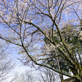 Photos: 出迎えの桜