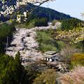 Photos: 桜の山道