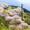 桜の中を行く