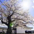 Photos: おとめ桜