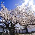 おとめ桜 -FishEye-