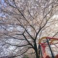 滑り台と桜
