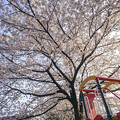 Photos: 滑り台と桜