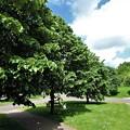 写真: 菩提樹