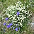 カンパヌラと白い花