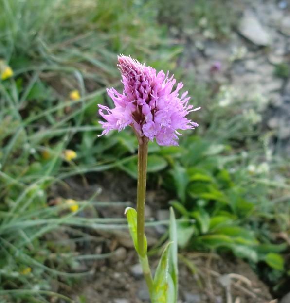 ラン科の花