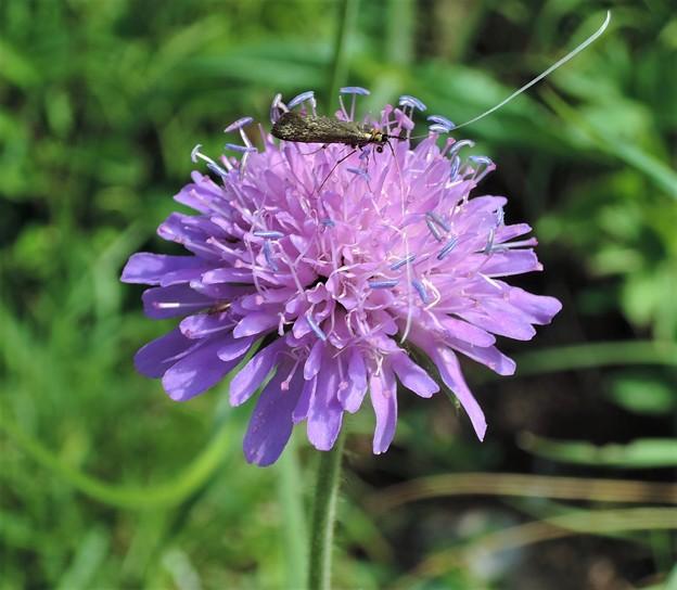 マツムシソウに似た花