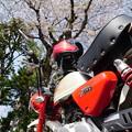 写真: 桜を愛でに