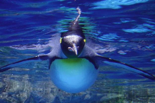 水中ペンギン
