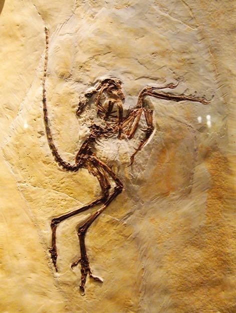 福井県立恐竜博物館.始祖鳥 (2)
