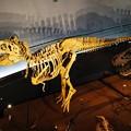 Photos: ティラノザウルス骨格