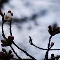 写真: 春遠し… でも…一輪咲いてた!