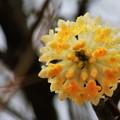 Photos: ミツマタの花