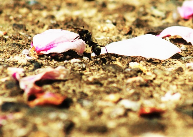 蟻さんの花見