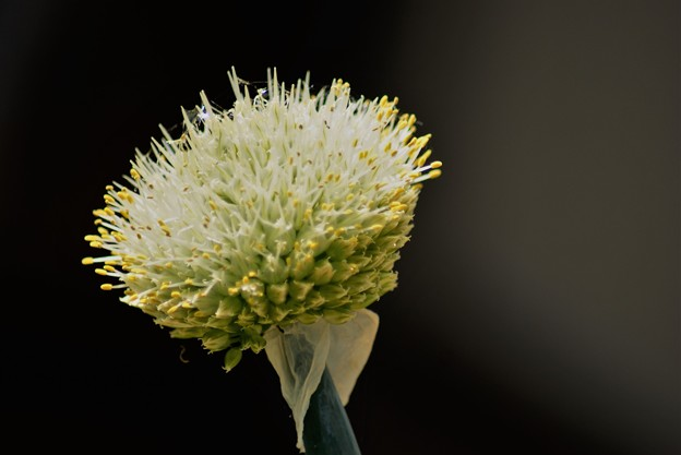 Photos: ネギの花