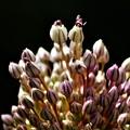 写真: ニンニクの花