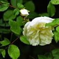 Photos: バラが咲いた!